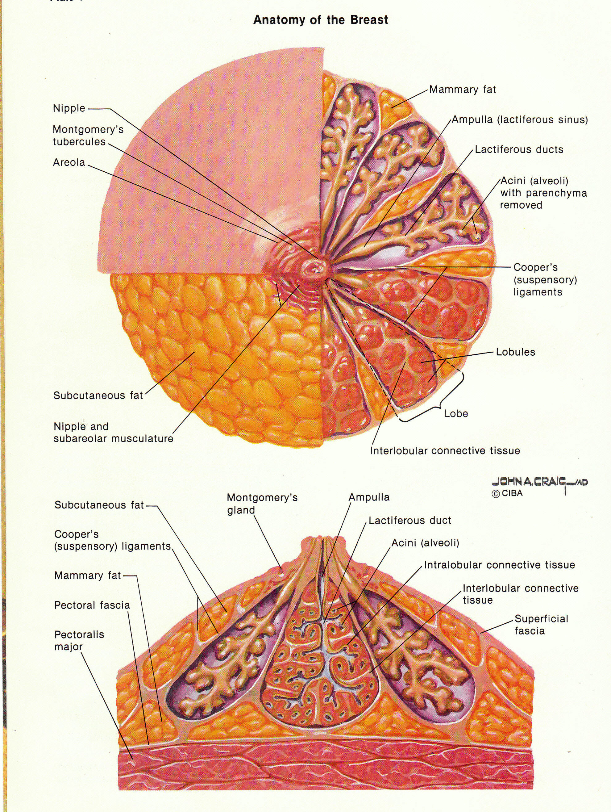 Anatomy of areola